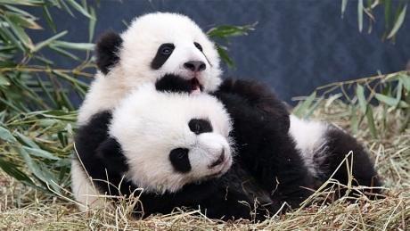 Baby Panda Meets Mom For First Time (Video)